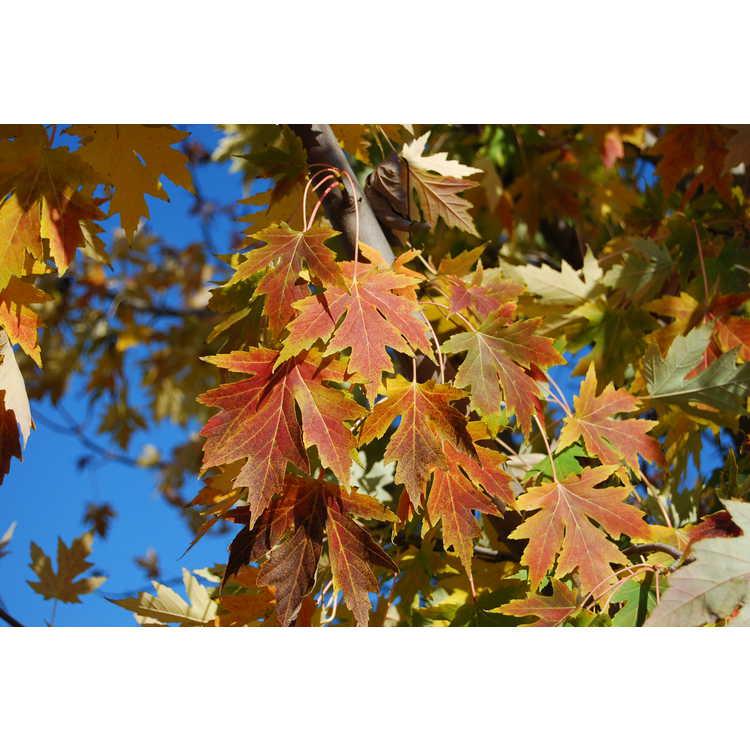 Acer ×freemanii 'Celzam'