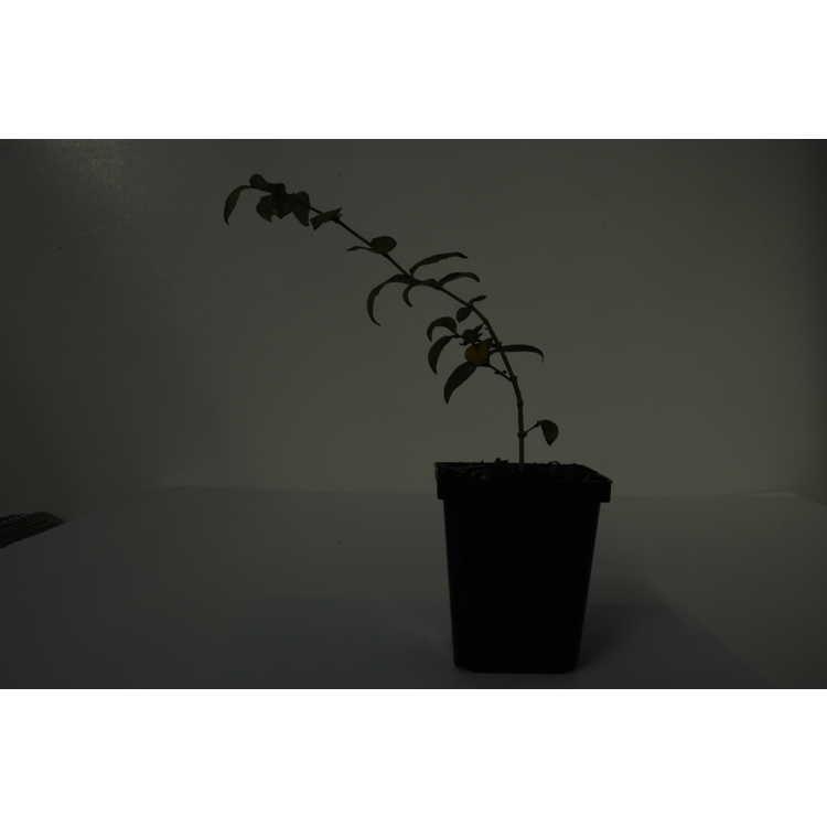 Abelia spathulata