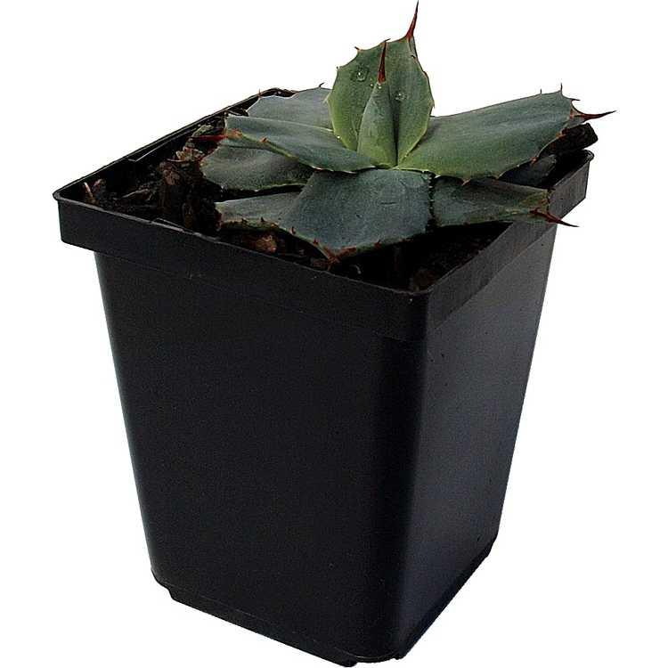 Agave parryi subsp. parryi var. huachucensis - Fort Huachuca barrel agave