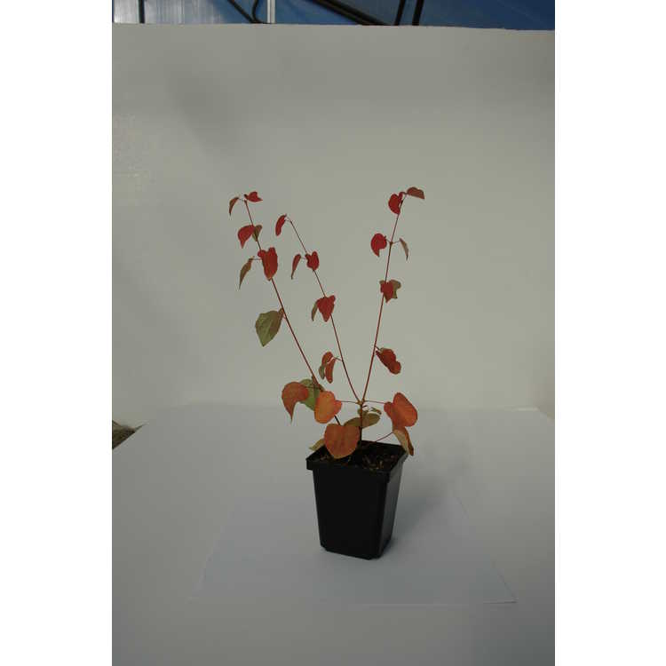 Cercidiphyllum japonicum - katsura
