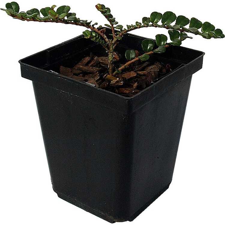 Eurya emarginata f. microphylla