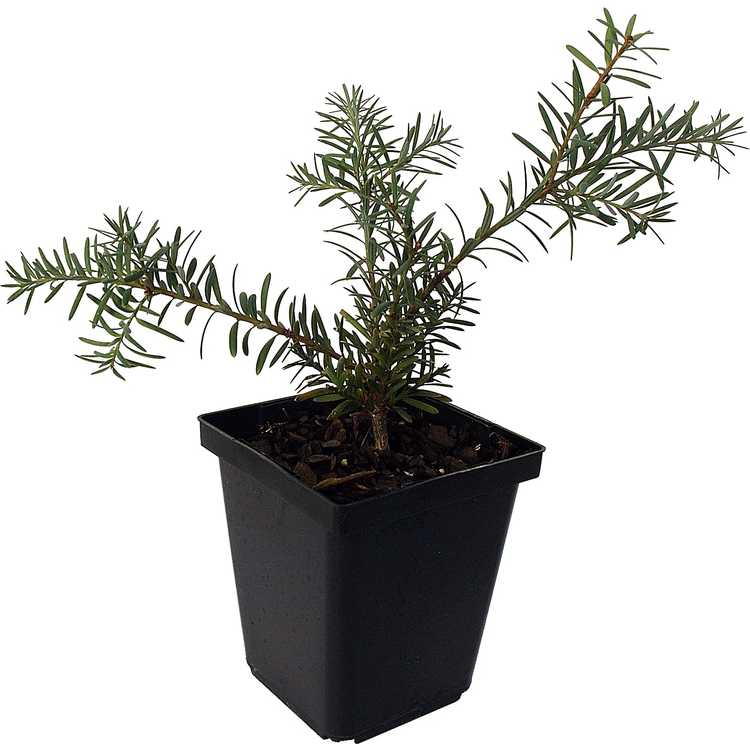 Podocarpus lawrencei - mountain plum-pine