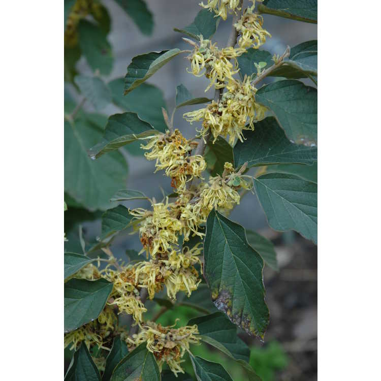Hamamelis virginiana mexicana