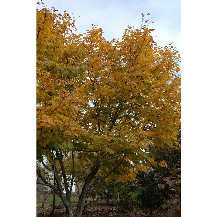 Cladrastis kentukea 'Perkins Pink' - pink American yellowwood