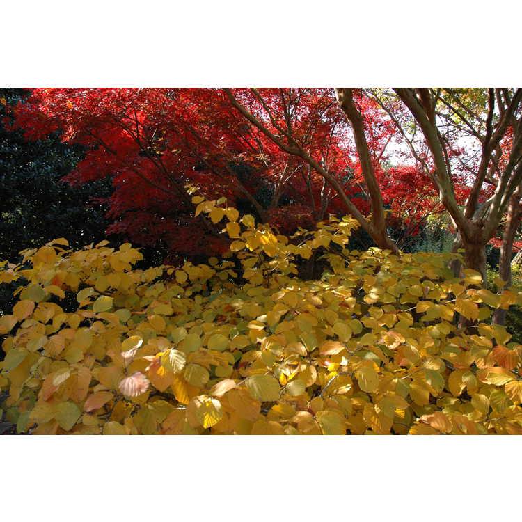 Hamamelis ×intermedia 'Jelena' - copper-flowered common witchhazel