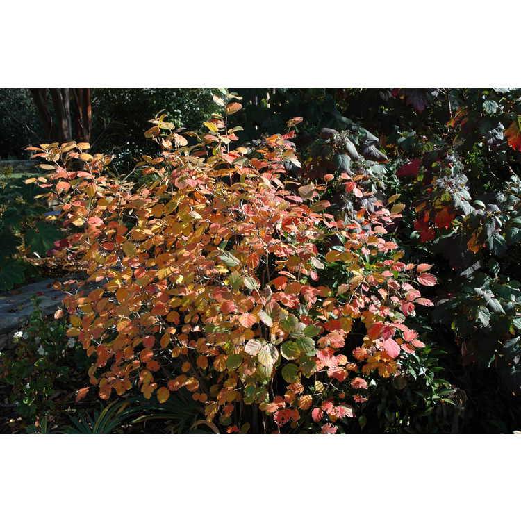 Fothergilla ×intermedia 'Mount Airy' - hybrid fothergilla