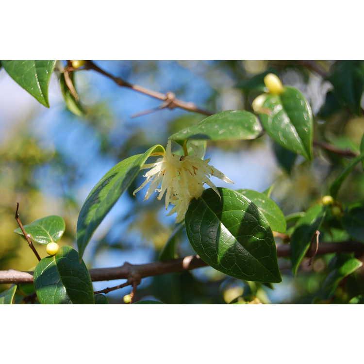 Chimonanthus zhejiangensis - glossy chimonanthus