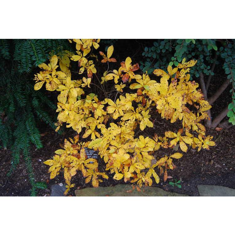 Clethra alnifolia 'Ruby Spice' - summersweet clethra