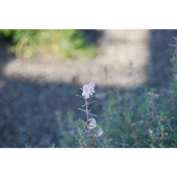 Conradina canescens - false rosemary