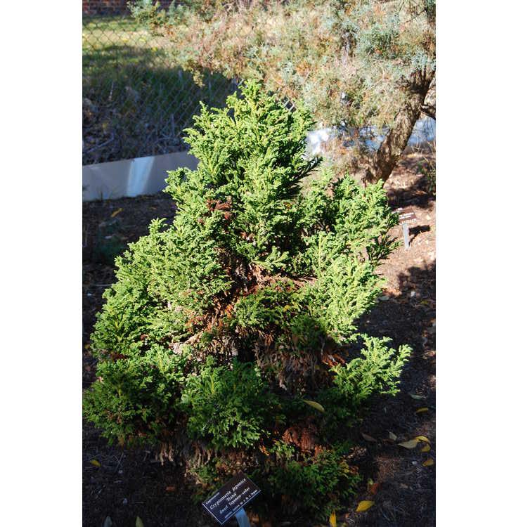 Cryptomeria-japonica-Nana-002-JCRA-11-21-07.JPG