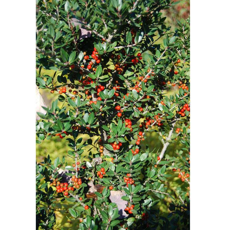Ilex vomitoria 'Dodd's Cranberry' - yaupon holly