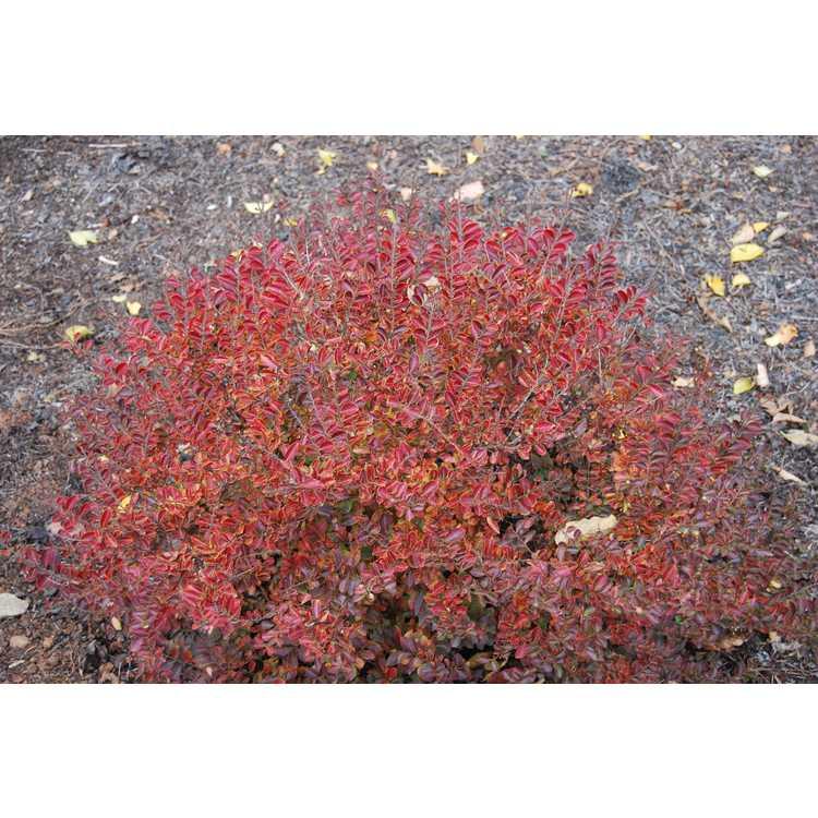 Lagerstroemia 'Gamad I' - Cherry Dazzle compact crepe myrtle