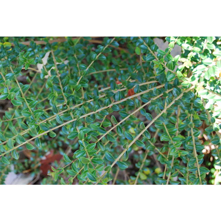 Ligustrum delavayanum - Delavay's privet