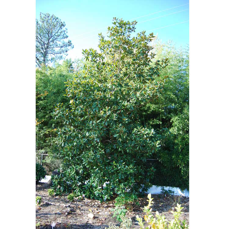 Magnolia grandiflora 'Poconos'
