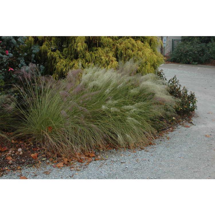 Muhlenbergia capillaris - hairy-awn muhly grass