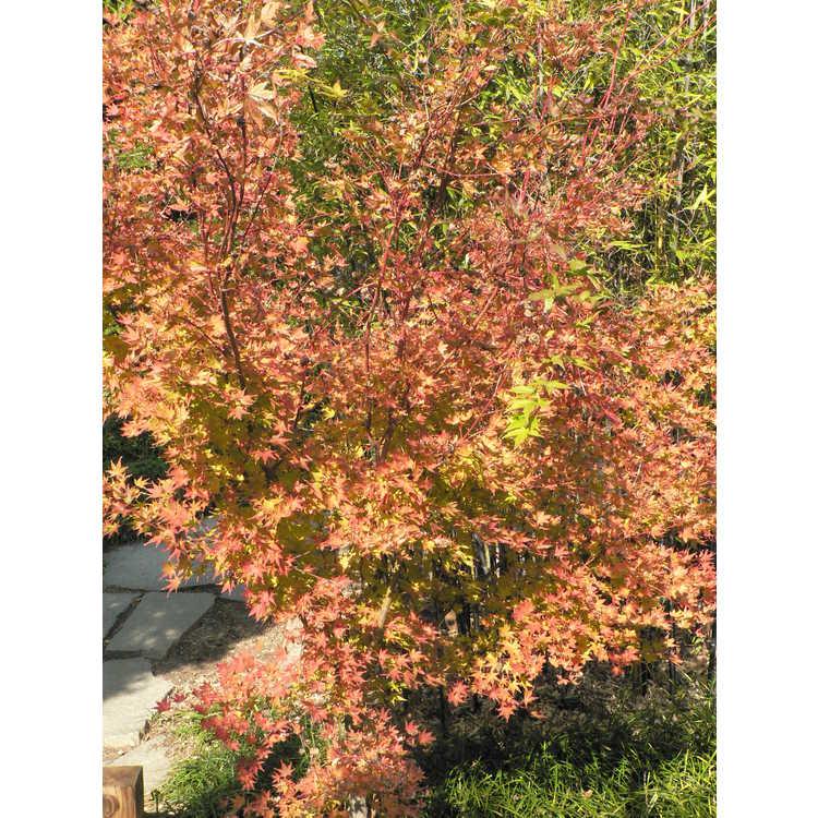 Acer palmatum 'Sango kaku'
