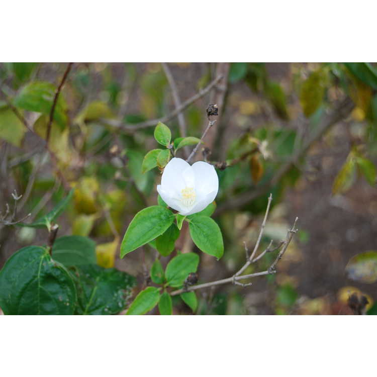 Philadelphus Polar Star