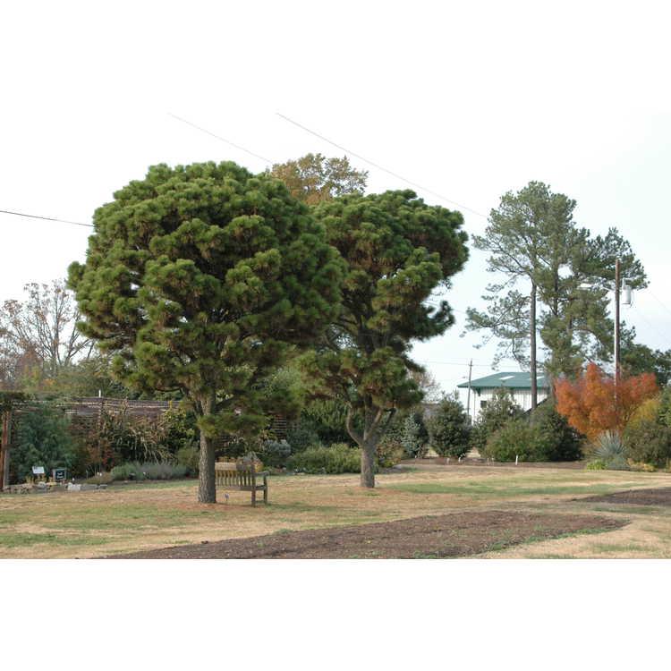 Pinus taeda NCSU Dwarf Group