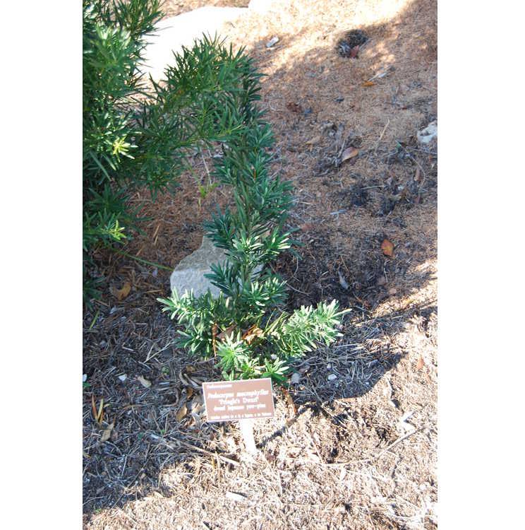 Podocarpus macrophyllus 'Pringle's Dwarf'
