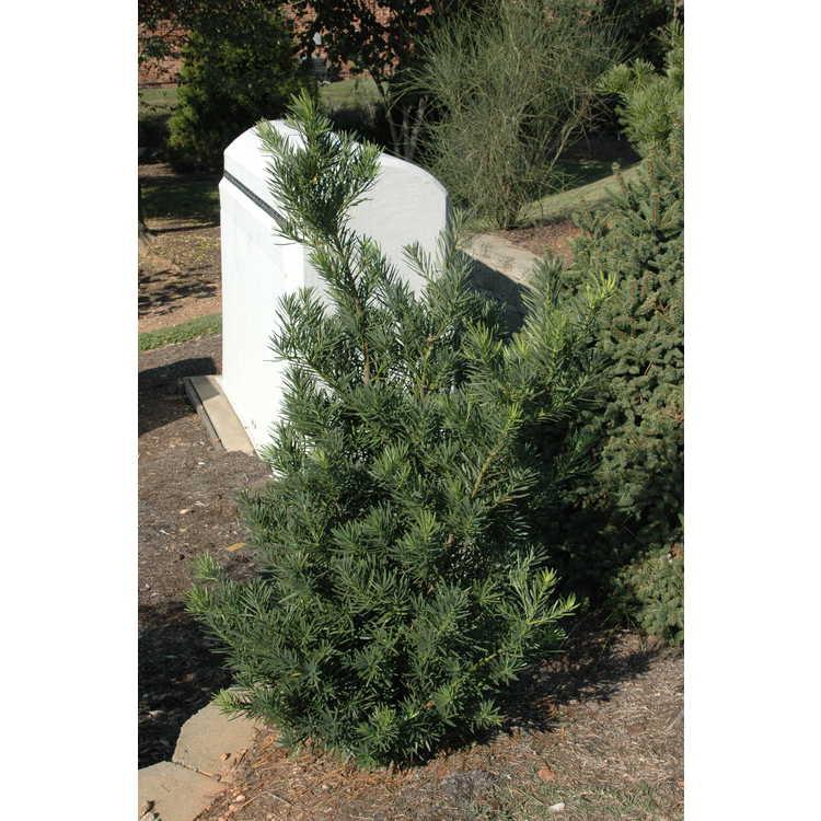 Podocarpus macrophyllus var. maki 'Edgefield' - hardy Japanese yew-pine