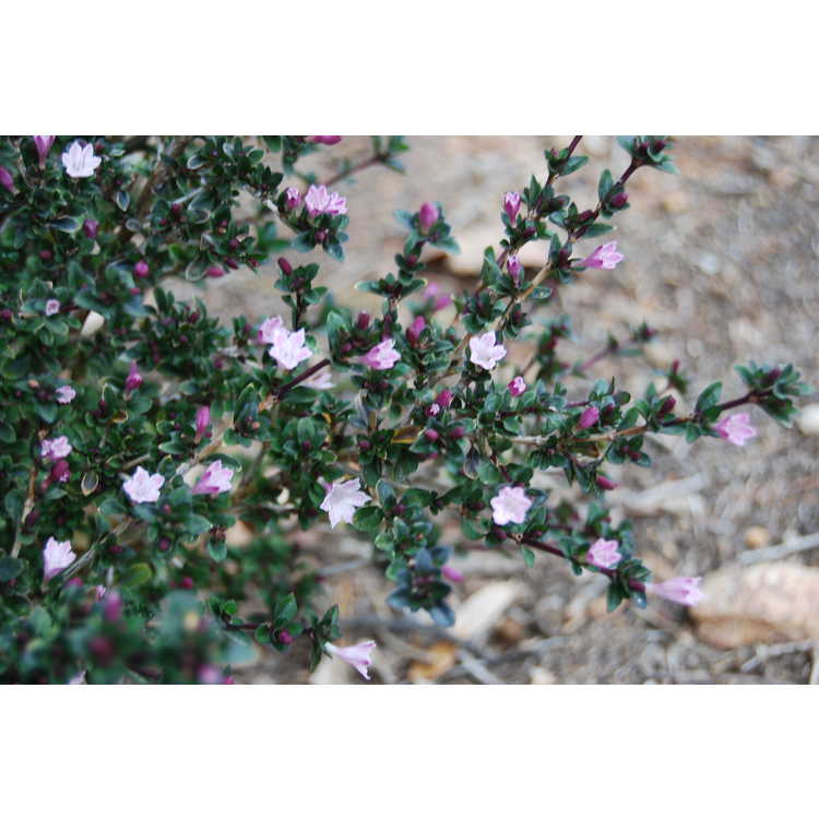 Serissa japonica 'Pink Mountain' - variegated Japanese snow rose