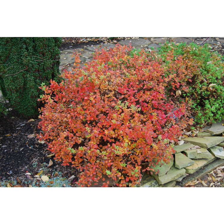 Spiraea japonica 'Candle Light'