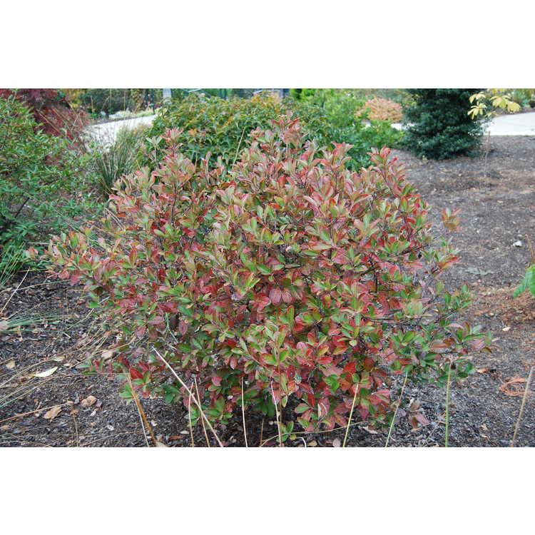 Viburnum nudum (Callaway small leaf) - possumhaw viburnum