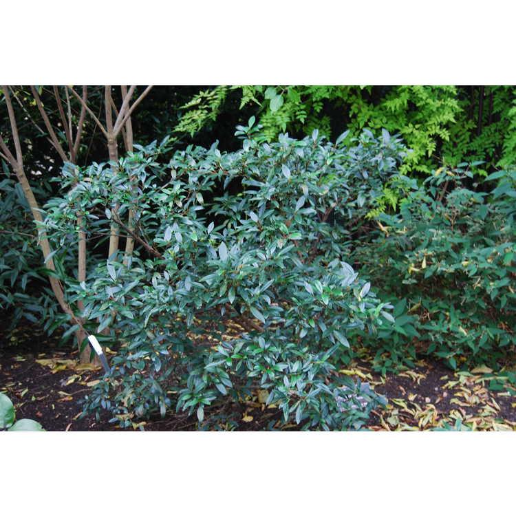 Viburnum propinquum - Chinese viburnum