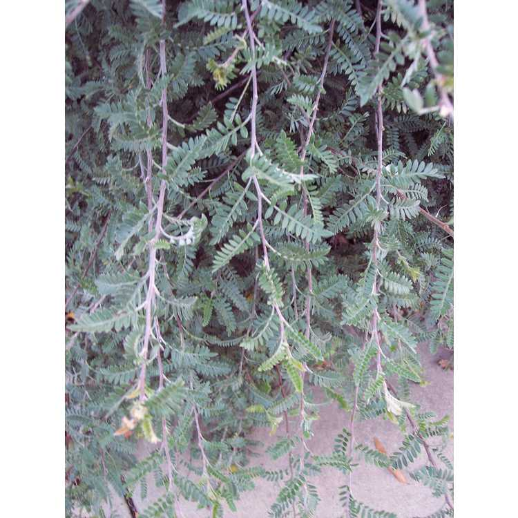 Osteomeles schwerinae - Chinese emperor plum
