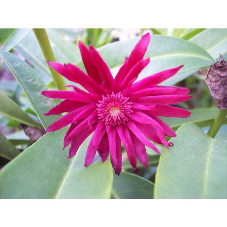 Illicium mexicanum 'Aztec Fire'