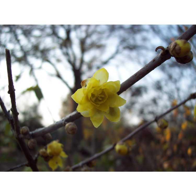 Chimonanthus praecox - fragrant wintersweet