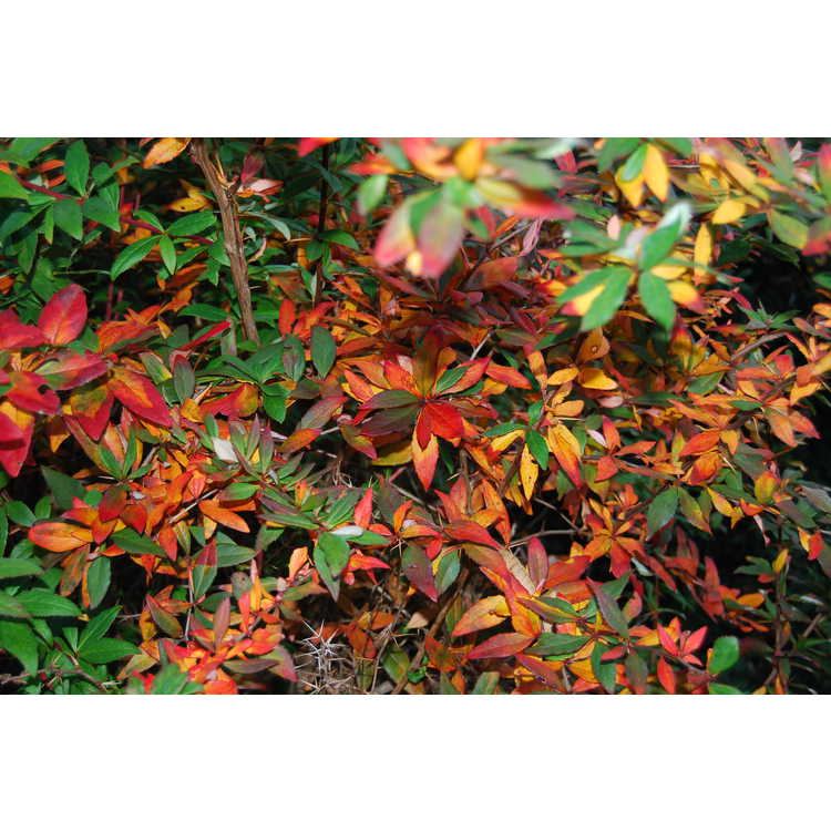 Berberis henryana - Henry's barberry