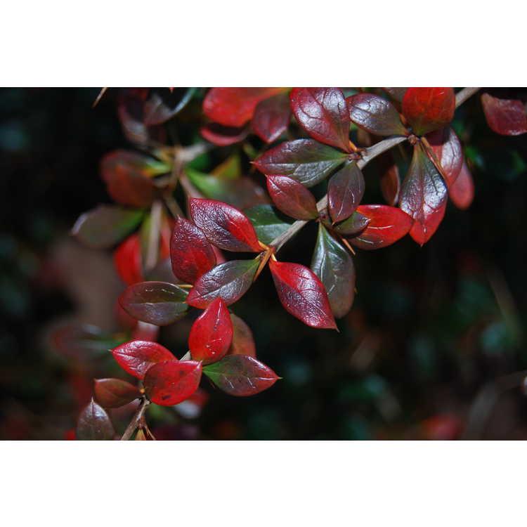 Berberis ×media 'Parkjuweel' - jeweled barberry