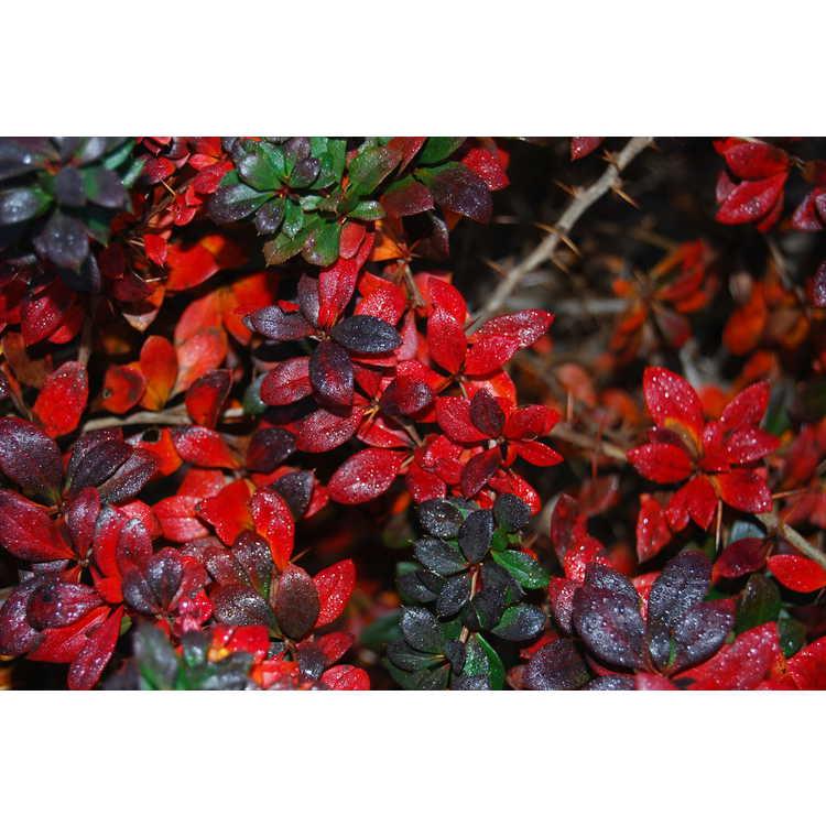 Berberis ×media 'Red Jewel' - barberry