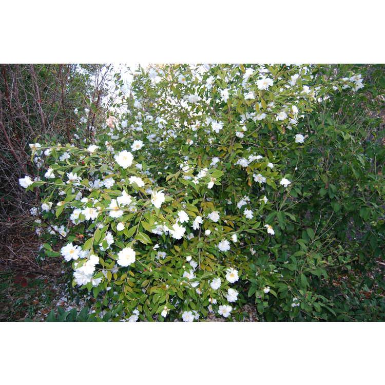Camellia 'Snow Flurry'