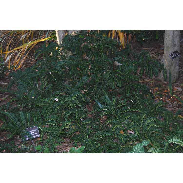 Cephalotaxus harringtonia 'H.W. Sargent' - dwarf Japanese plum-yew