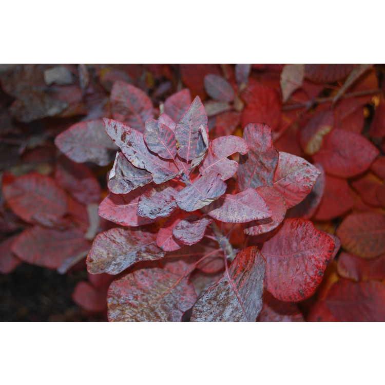 Cotinus-coggygria-Ancot-Golden-Spirit-tm-005-JCRA-12-13-07.JPG