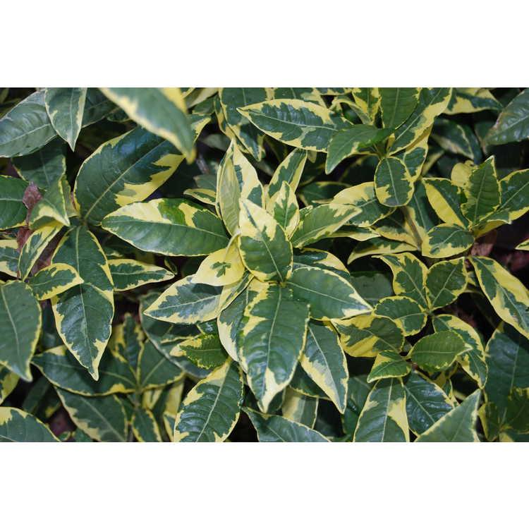 Gardenia jasminoides (variegated, double flower) - variegated Cape jessamine