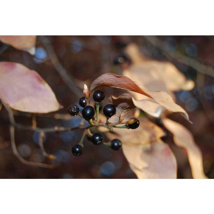 Lindera glauca - silver spicebush