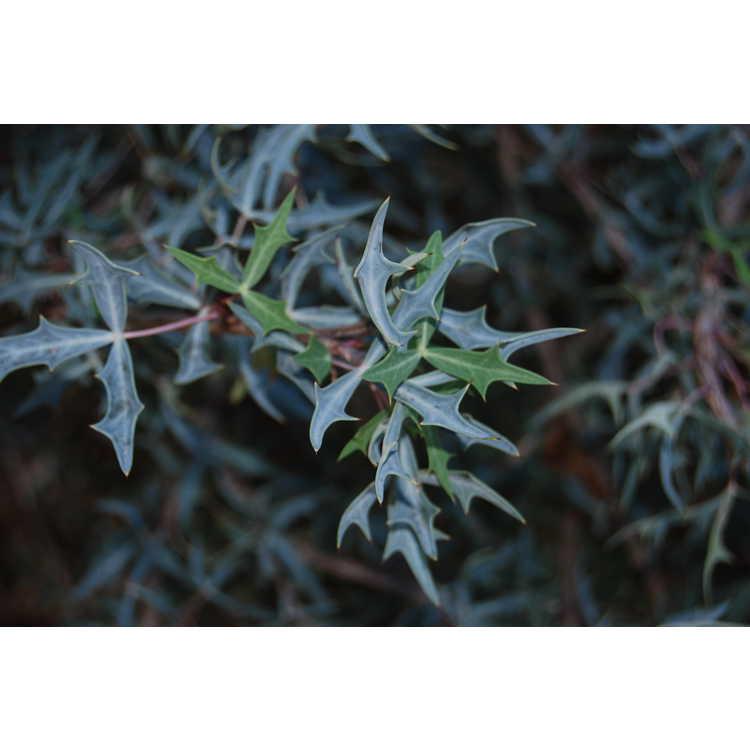 Mahonia trifoliolata - algerita
