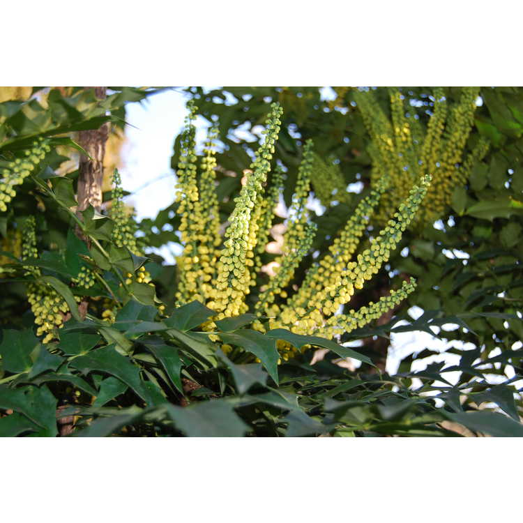 Mahonia ×media 'Buckland' - grapeholly