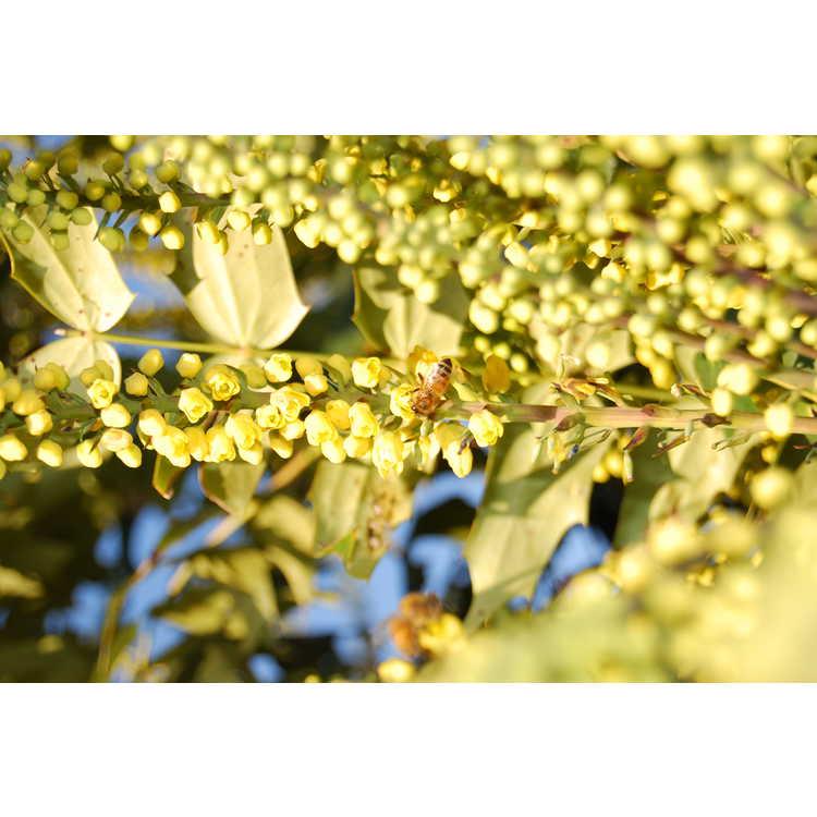 Mahonia ×media 'Underway' - grapeholly