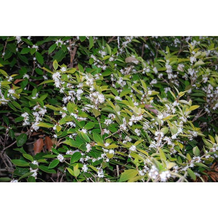 Osmanthus heterophyllus 'Ogon'
