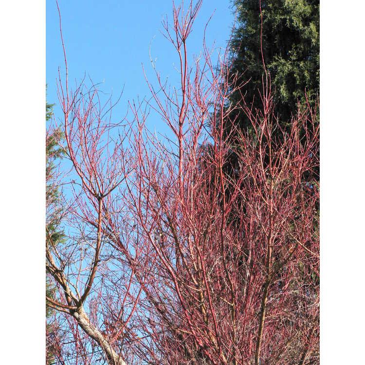 Acer palmatum 'Beni kawa'
