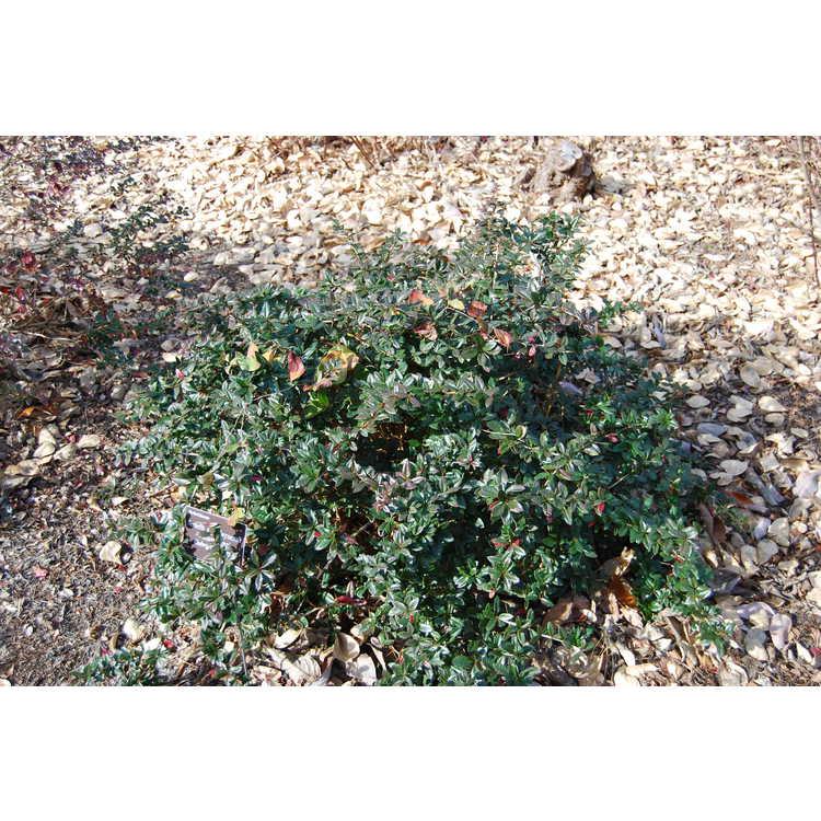 Berberis ×gladwynensis 'William Penn'