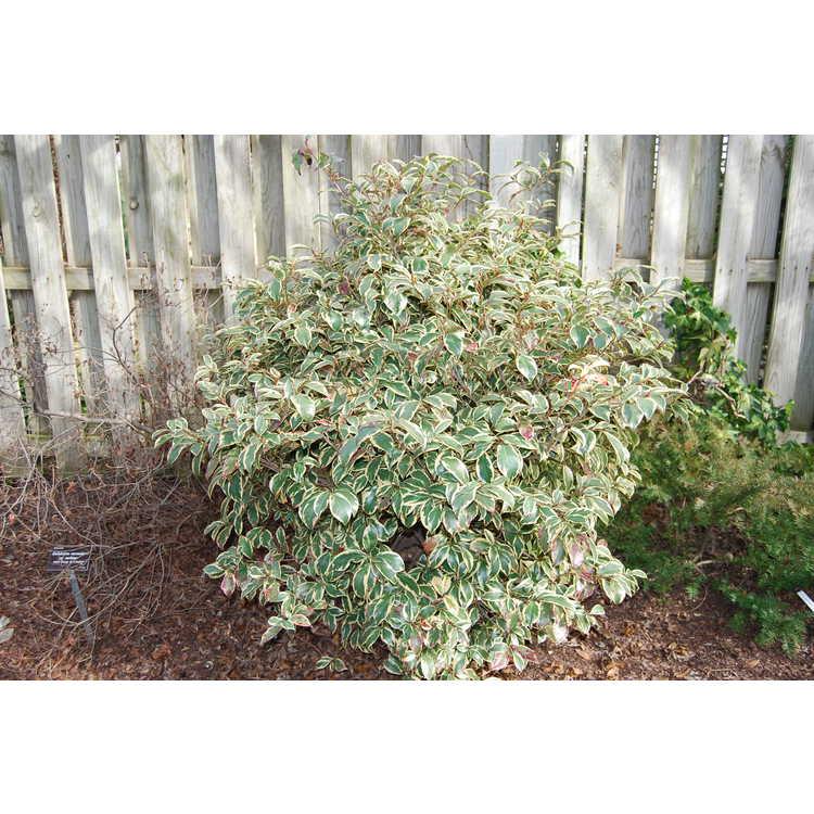 Cleyera-japonica-Variegata-001-JCRA-1-16-08.JPG