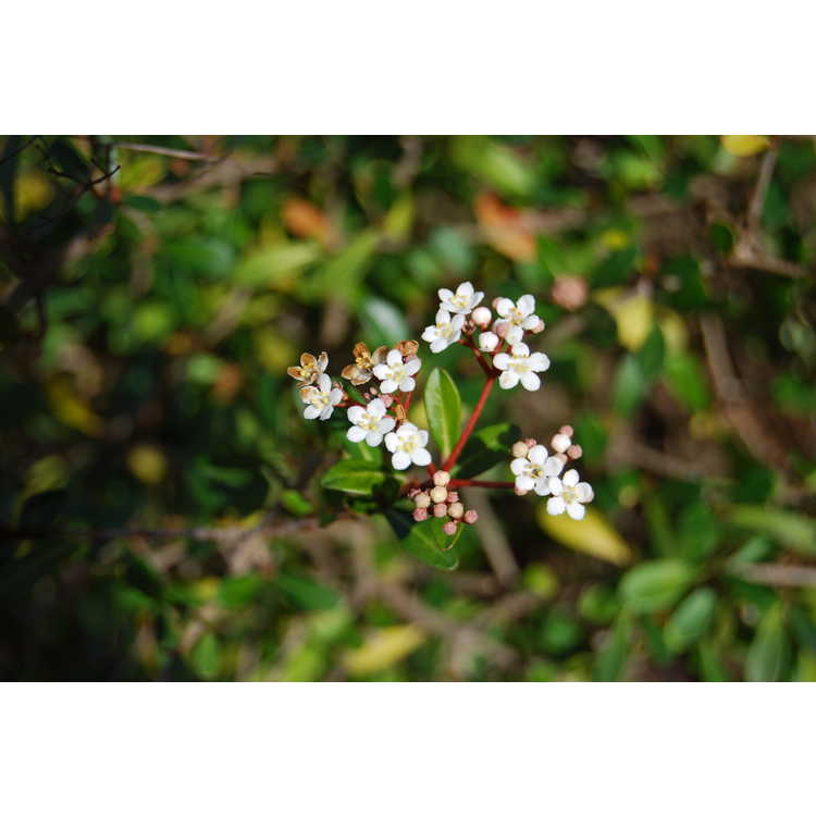 Viburnum obovatum 'Raulston Hardy' - dwarf viburnum