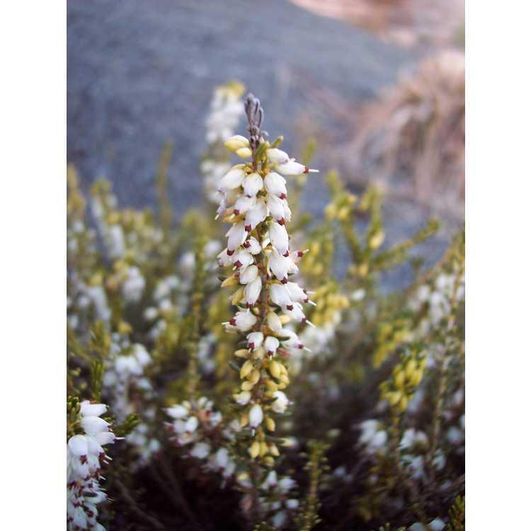 Erica ×darleyensis 'White Perfection' - Darley heath