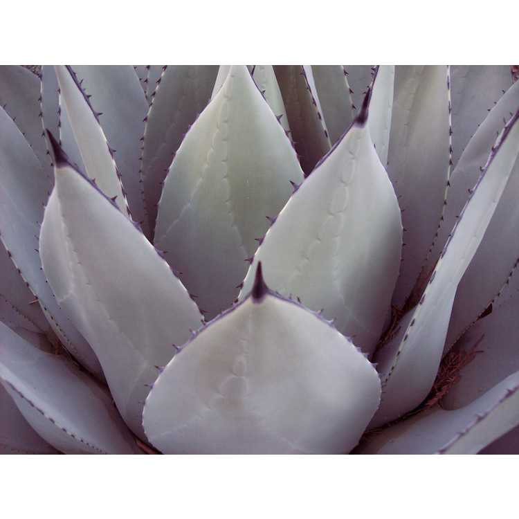 Agave parryi 'J.C. Raulston' - mescal barrel agave