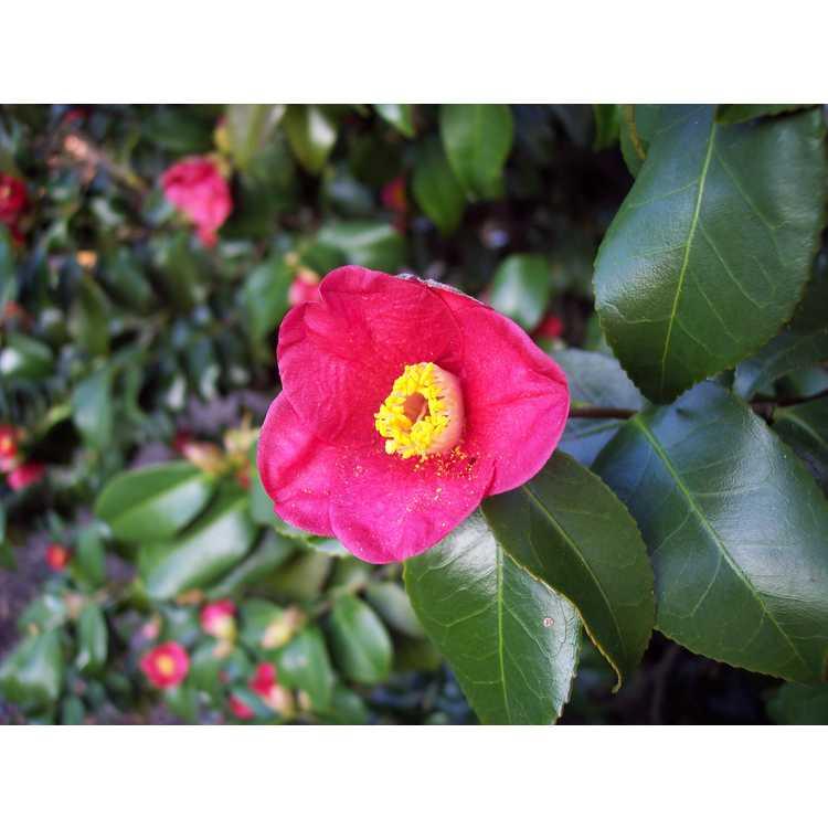 Camellia japonica (Korean germplasm)